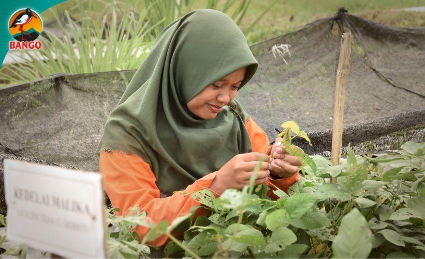merawat tanaman kedelai hitam Mallika